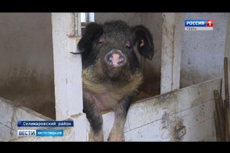 В Тверской области семья фермеров разводит редкую породу свиней